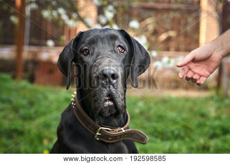 Dog, black mastiff, street, garden, hand, animal.