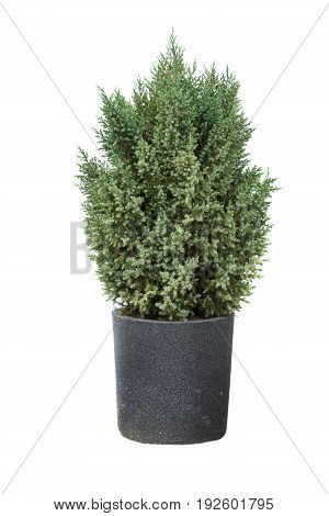 Cypress in pot on a white background.