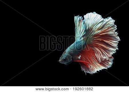 Capture the moving moment of red blue siamese fighting fish isolated on black background. Dumbo betta fish