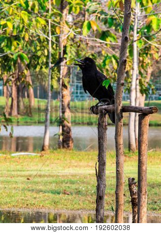 Black crow, Corvus corone, common crow nature