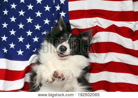 Happy border collie laying on American flag