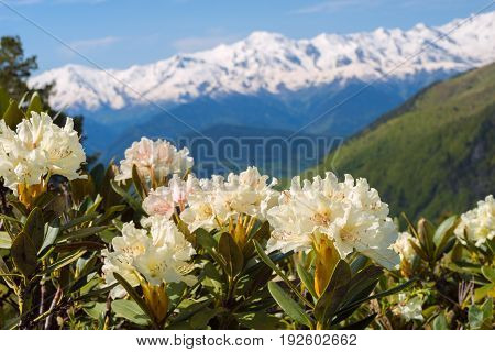 Flowering Rhododendrons On The Green Slopes Of The Mountain Range