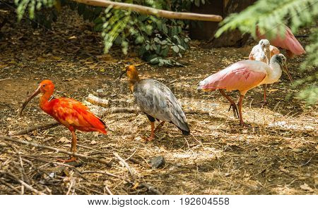 Bright Scarlet Ibis And Other Birds Walking In The Park