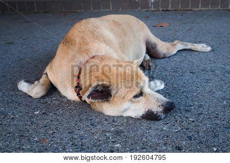Thai brown dog sleeping on the street