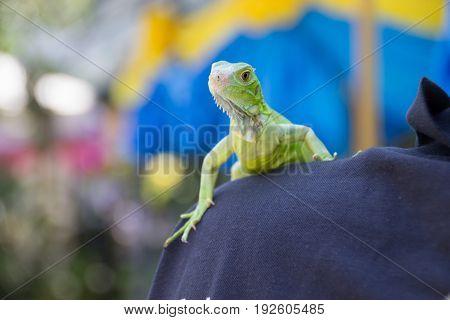 Green Iguana portrait Closeup on shoulder. Pets