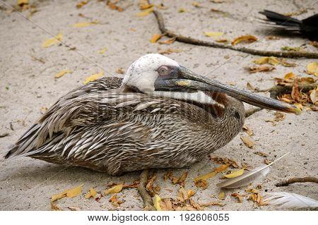 Endangered Brown Pelican Latin name Pelecanus occidentalis