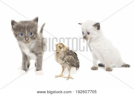 Kittens and chicken isolated photo Russia Tambov Summer (July)
