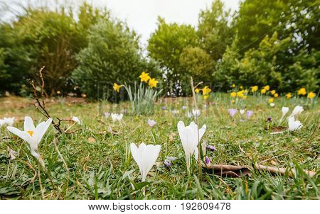 French vibrant spring field with Crocus (Crocus longiflorus) flowers in bloom - view from bellow in public park in Bath United kingdom