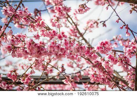 Pink trumpet shrub, Pink trumpet tree, Pink tecoma