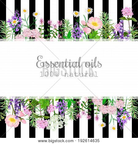 Popular essential oil plants label set on black stripes Peppermint lavender sage melissa Rose Geranium Chamomile oregano etc For cosmetics spa health care aromatherapy advertising tag