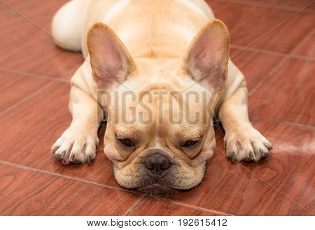 Cute french bulldog lovely pet close up