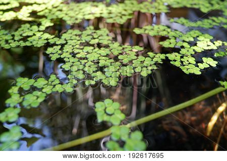 Green duckweed natural on water or pond.