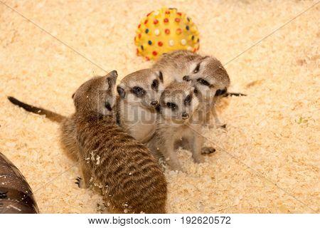 A few meerkats in the petting zoo