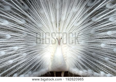 Beautiful White peacock shows his gorgeous open tail close up