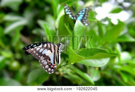 The Common Jay Butterfly