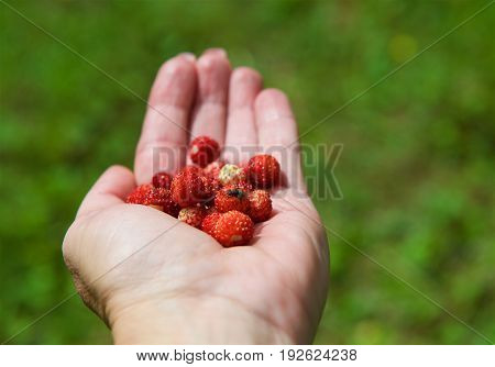 Wild strawberries. Woman hold wild strawberries in her hand in blurry background