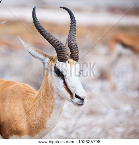 Male impala portrait, african wildlife in Etosha National Park, Namibia, Africa.
