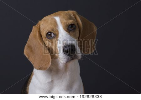 Adorable young beagle looking at the camera. Isolated on dark background.