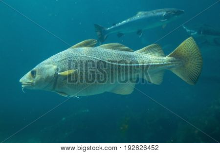 Baltic cod fish in Atlantic Sea Park in Alesund Norway