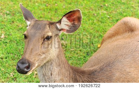 Thai deer live at the Kaoyai national park to be friendly with the tourists
