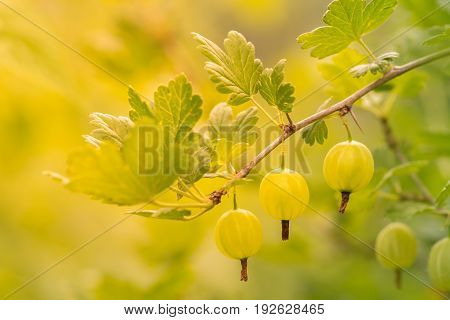 Gooseberries on a branch. Berries in sunlight outdoors.