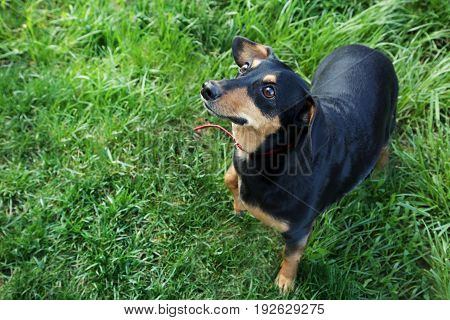 Black dachshund on green grass, close up