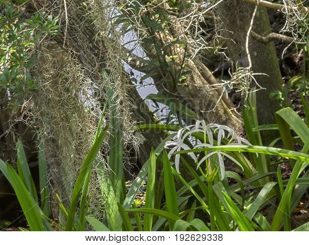 HDR Crinum lilies in frot of tree trunks and Spanish moss