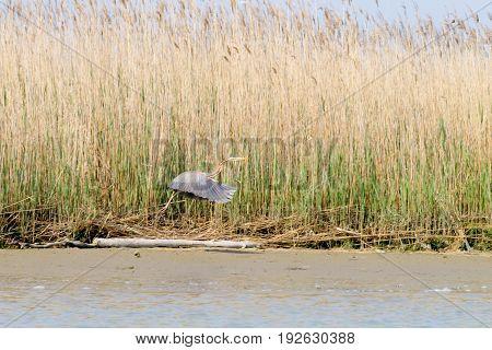 Purple heron close up from Po river lagoon Italy. Migratory bird. Italian nature