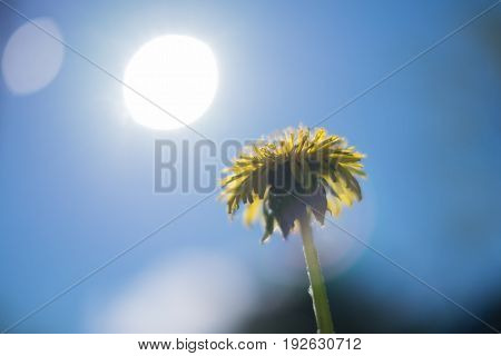 Yellow dandelion on blue sky background with sun light