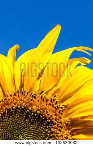 The top half of a bright yellow sunflower bloom against a clear blue sky background.