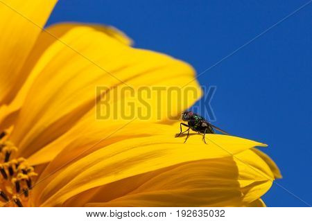 A house fly sitting on a bright yellow petal of a sunflower bloom with a blue sky background.