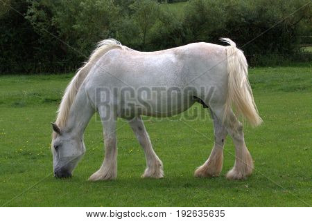 White Shire horse casually grazing in field.