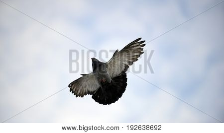 image of a pigeon bird flying.animal theme
