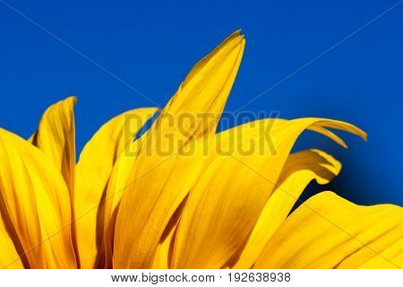 Brilliant yellow petals of a sunflower bloom against a vivid blue clear sky background.