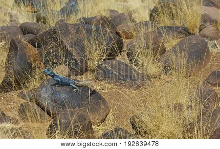 Landscape in Quiver tree area in Namibia with lizard (agama) on a rock