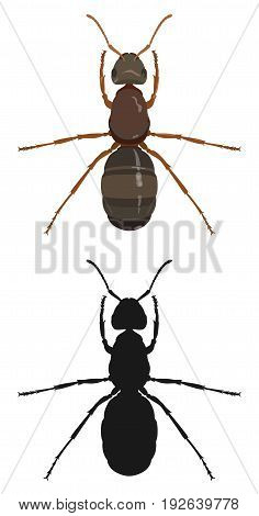Vector colored drawing of an ant and its dark silhouette on a white background.