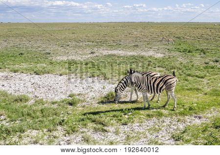 Two plains zebras (Equus quagga) grazing with springboks in Etosha national park Namibia.