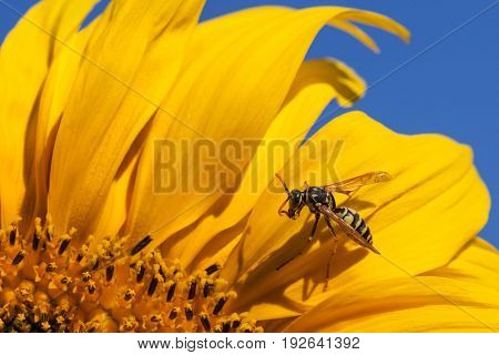 A yellow -jacket bee sits and grooms itself on a bright yellow petal of a sunflower bloom in the sunshine.
