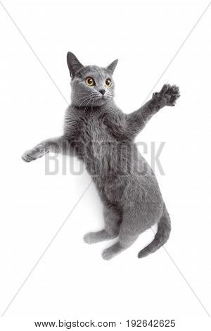 Russian blue cat playing and jumps. Isolated on white background