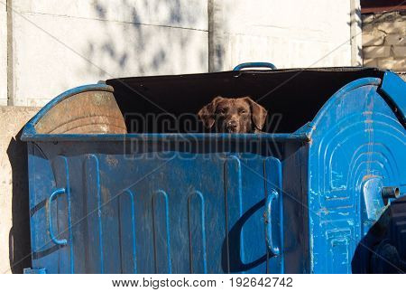A homeless dog peeking out of a garbage can