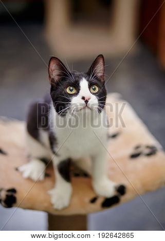 Black with white young cat with green eyes sits.