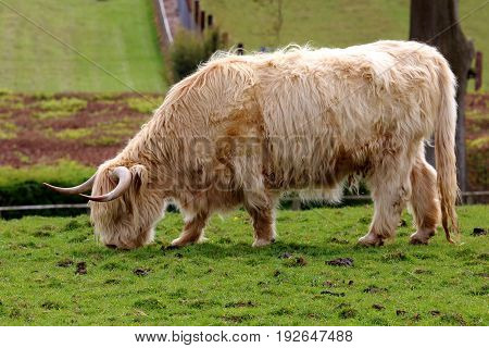 A Highland cow grazing in a field