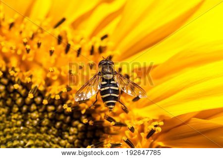 A small black and yellow hover fly that looks like a bee is resting on the blooms inside a sunflower.