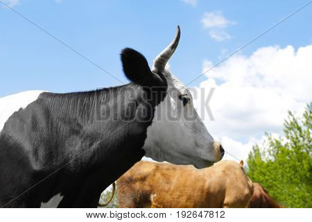 Cute cow and blue sky on background