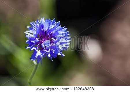 A blue bachelor button flower in the sunshine with a blurred background.