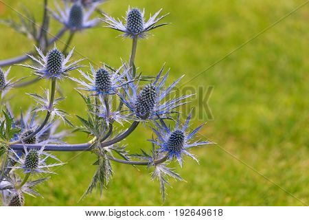 Beuatiful Sea Holly with a defocused green background and space for text.