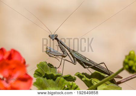 European Praying Mantis On Geranium Flower