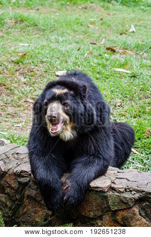 Spectacled bear ( Tremarctos ornatus ) in captivity
