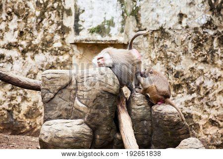 Baboons removing fleas (hamadryas baboon) in captivity