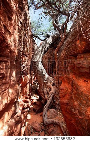 Determined tree growing in middle of slot canyon in Southern Utah